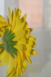 Isolated beautiful yellow gerbera flower, side view. Macro shot.
