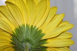 Isolated beautiful yellow gerbera flower, taken from the rear. Macro shot.