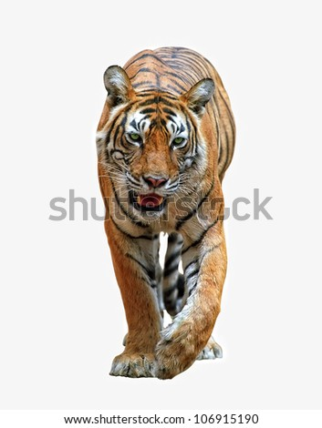 Isolated bengal tiger with clipping path
