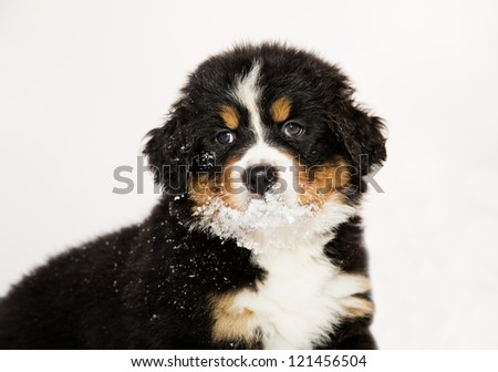 Isolated bernese mountain dog puppet is halfly snowy