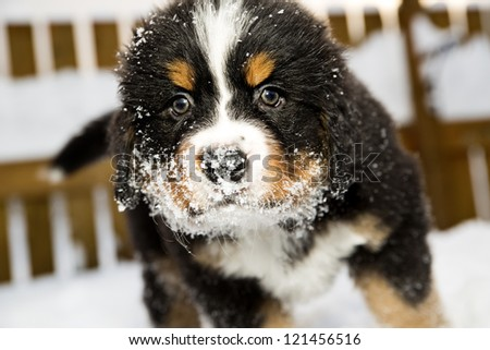 Isolated bernese mountain dog puppet is sniffing camera