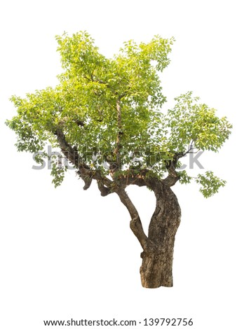 isolated big green tree on white background