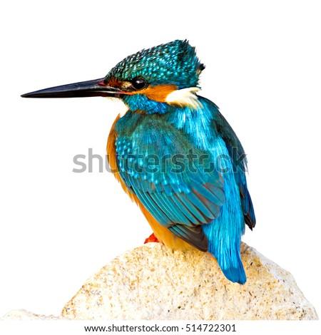 isolated bird kingfisher on white background Common Kingfisher / Alcedo atthis