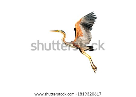 Isolated bird. White background. Purple heron.