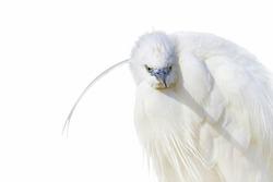 Isolated bird white heron. White background. Bird: Little Egret. Egretta garzetta