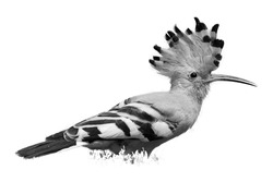 Isolated, black and white, artistic photo of bird, African Hoopoe, Upupa epops africana with erected crest against  white background. African Hoopoe on the savanna. Pilanesberg, South Africa