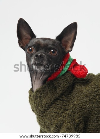 isolated black chihuahua wearing winter outfit alert and attentive