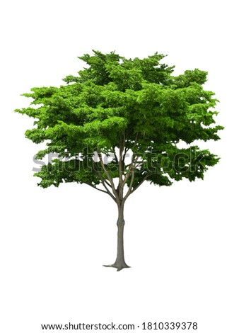 isolated black ebony tree with clipping path on white background or die-cut green leaf ebony tree for garden decoration and environment conservation Photo stock ©