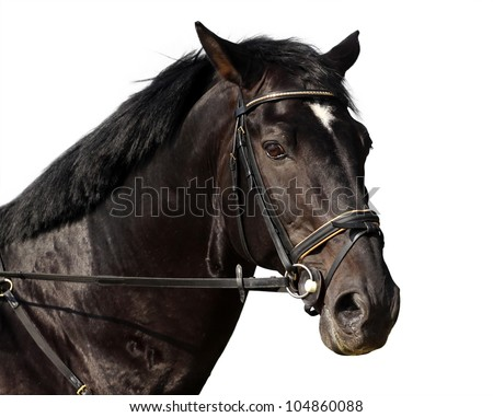 Isolated black horse portrait