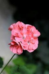 Isolated blooming pink pelargonium flower
