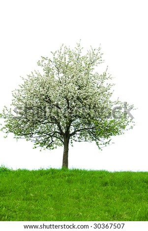 Isolated blooming tree with grass in front.