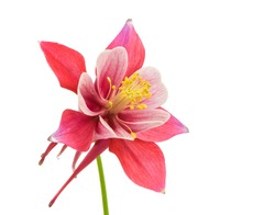 Isolated blossom of Columbine (Aquilegia) flower