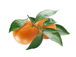 Isolated branch of orange with fruit and leaves