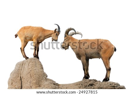 Isolated brown goat and ram on a hill