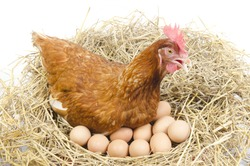 Isolated brown hen with egg in the studio