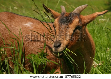 Isolated brown mountain goat