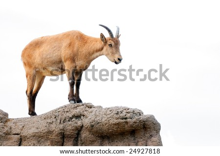 Isolated brown mountain goat surveying her territory