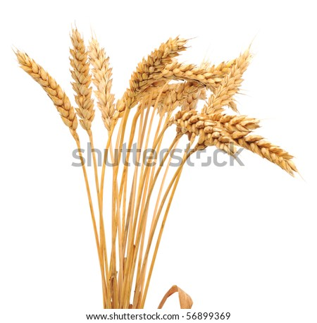 Isolated bunch of golden wheat ear after the harvest.