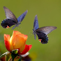 isolated Butterfly and flower for adv or others purpose use