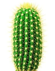 Isolated cactus on white background
