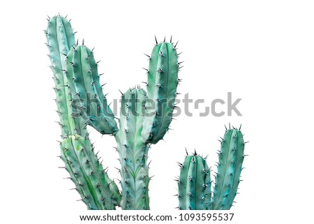 Isolated cactus on white background