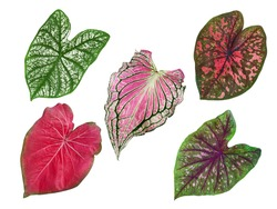 isolated caladium multicolor leaves red, brown and pink closeup texture with clipping path / beautiful and unique heart-shaped die cut of topical plant design or background