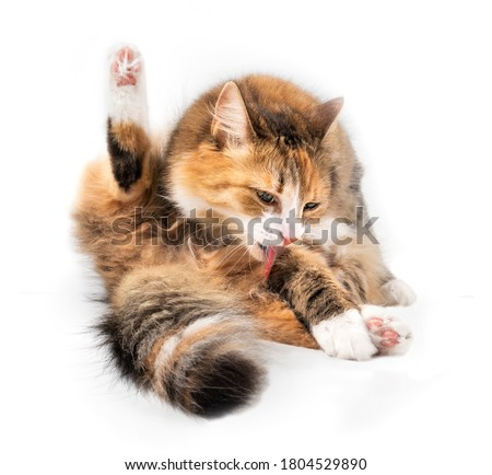 Isolated cat licking itself in sitting position with tongue out. Front view of cat grooming a paw with one hind leg up. 1 year old orange/white female cat. Concept for grooming and healthy skin.  Stock foto ©