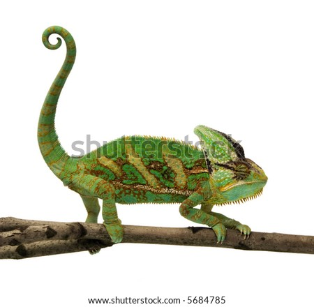 isolated chameleon on a branch over white background