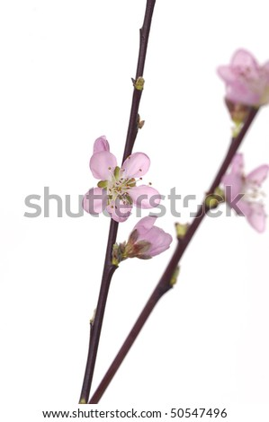 isolated cherry blossom