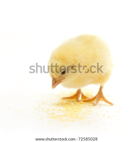 isolated chicken eating corn meal