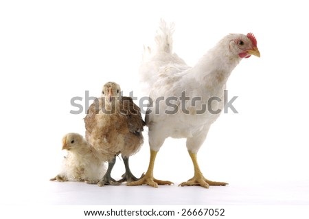 Isolated chicken family