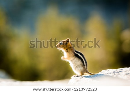 Isolated Chipmunk in Yosemite National Park with a blurry background.