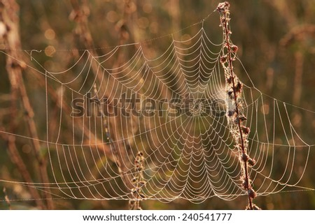 isolated close-up cobweb on the dry grass misty autumn morning #240541777