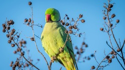 Isolated close up of a beautiful Rose- Ringed Parakeet bird in the wild
