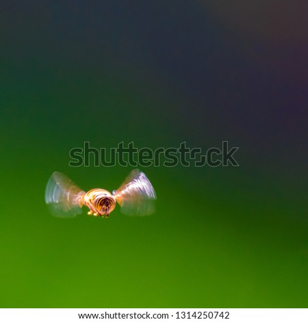 Isolated close up of a single bumble bee in flight with green background- Israel #1314250742
