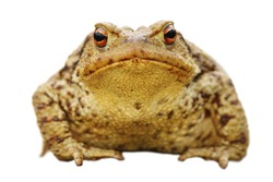 isolated close up of brown common toad, full length animal ( Bufo ), front view
