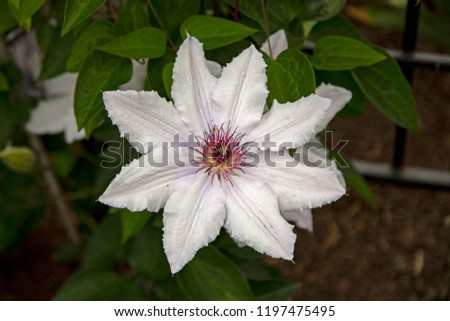 Isolated Close View Blooming Clematis Flower, Brilliant White Petals, Pink and Yellow Pistils/Stamen/Centers, Green Leaves, Daytime  #1197475495