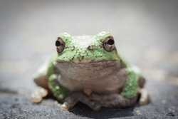 Isolated closeup of a bright green tree frog seeming to pose for the camera, body facing viewer, front legs together with toe pads touching. Background is a blurred asphalt driveway.