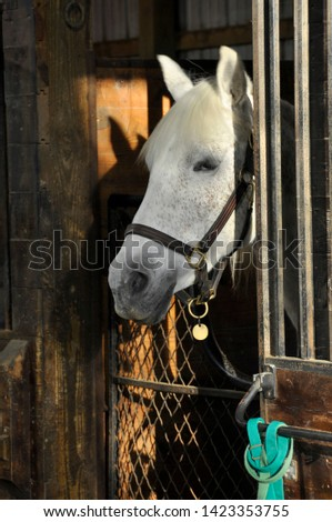 Isolated closeup of a white mare's head in a barn. She stands alertly in her stall. The horse peers out into the stable, basking in the bright, morning light.  #1423353755