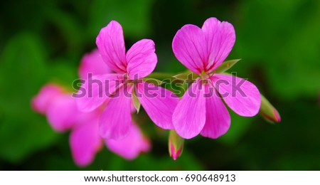 Isolated closeup of small pink flowers on a shrub ez canvas isolated closeup of small pink flowers on a shrub mightylinksfo