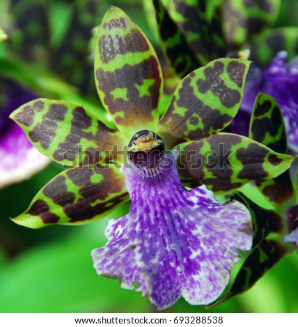 isolated closeup of violet green cambria Orchid flower