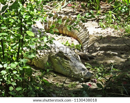 Isolated Closeup Picture of An Alligator Crocodile Hiding in Bushes