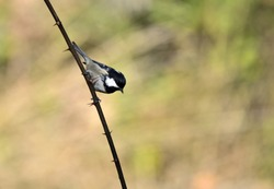 Isolated  Coal tit (Periparus ater) on branch with natural autumn background.