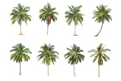 Isolated coconut tree on white background. The collection of coconut  trees.perfume.