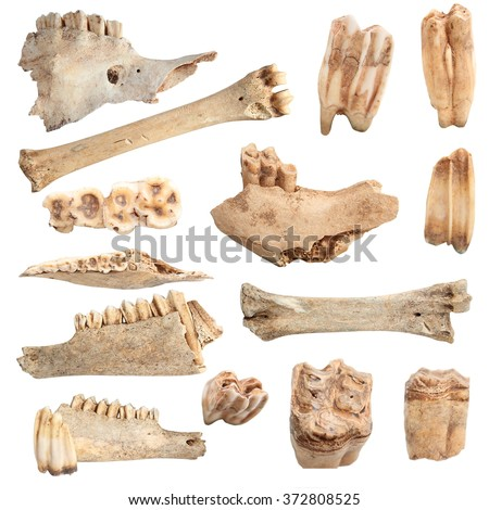isolated collection of different animal bones, over white background; these are from animals hunted and eaten by cavemen long time ago stock photo