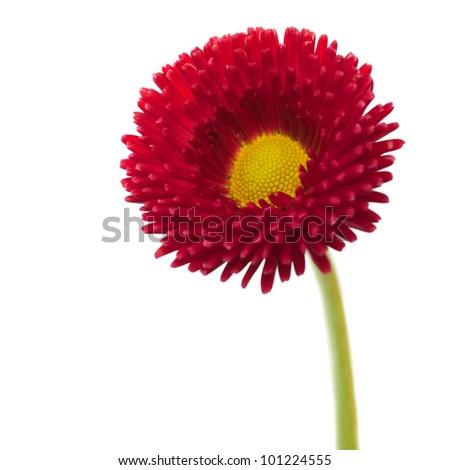 isolated common daisy [Bellis perennis]