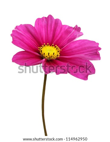 Isolated Cosmos Flower