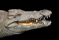 Isolated Crocodile, Crocodylus niloticus.