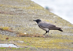 Isolated Crow walking on concrete slab near the river.