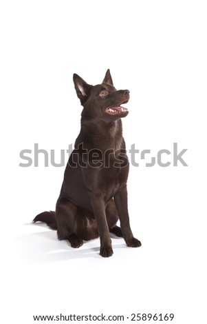 Isolated cute and funny australian kelpie dog over white background